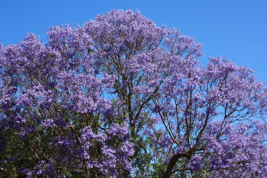 Jacaranda Tree Australia