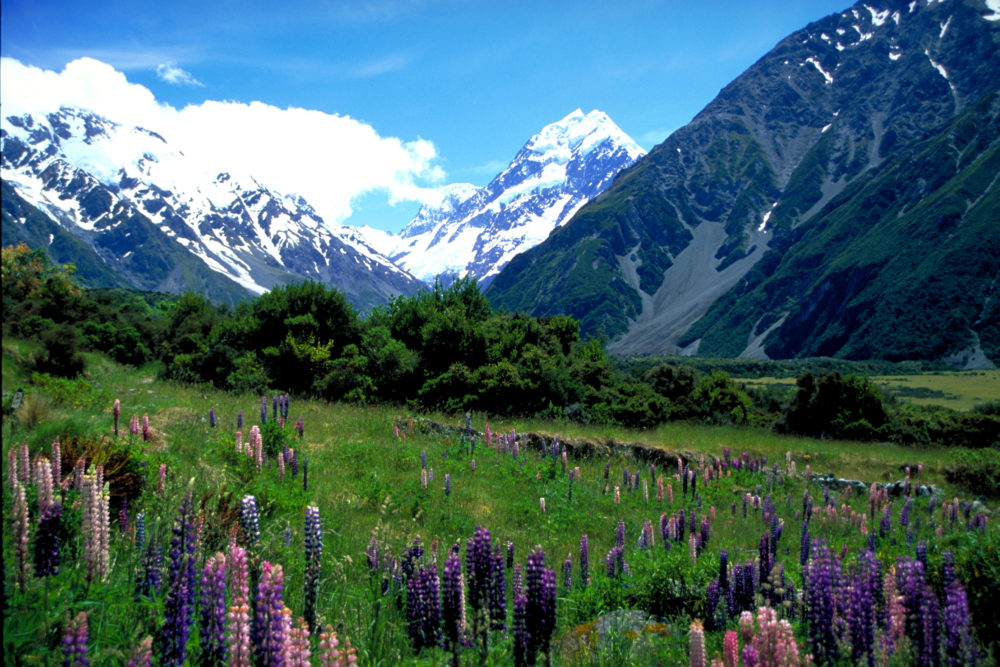 Lupins Mt Cook